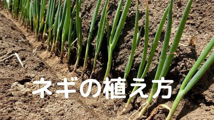 ネギの植え方
