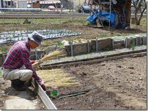 種をまいた上に敷き藁