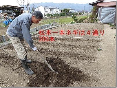 ネギの畝作り