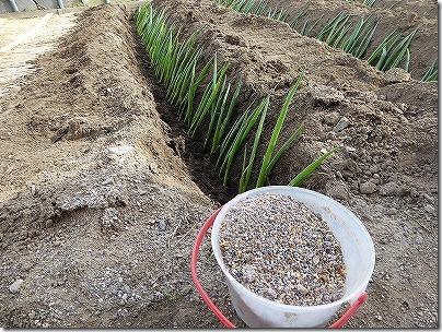 ネギに有機肥料をまく