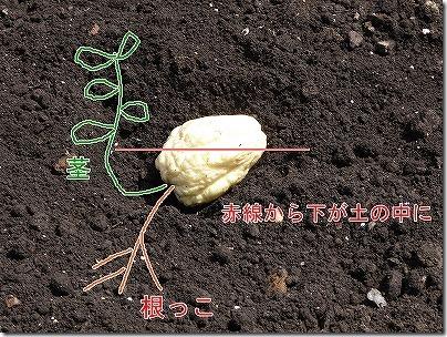 ハヤトウリの植え方