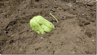 植えたハヤトウリ