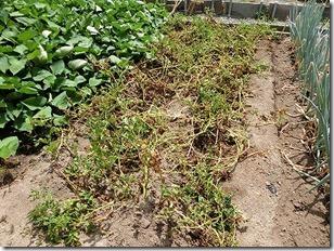 ジャガイモの茎や葉が枯れる