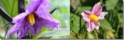 ナスの花とサツマイモの花