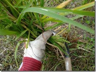稲刈りカマで刈り取る