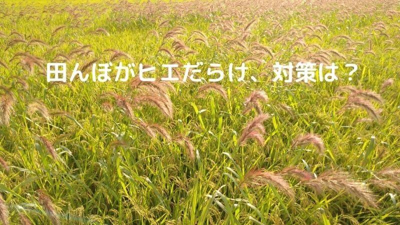 田んぼのヒエ