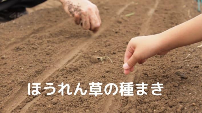 ほうれん草種まき