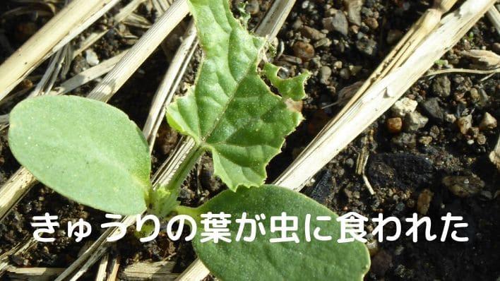 きゅうりの葉