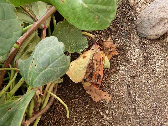 サツマイモの蔓と葉っぱ