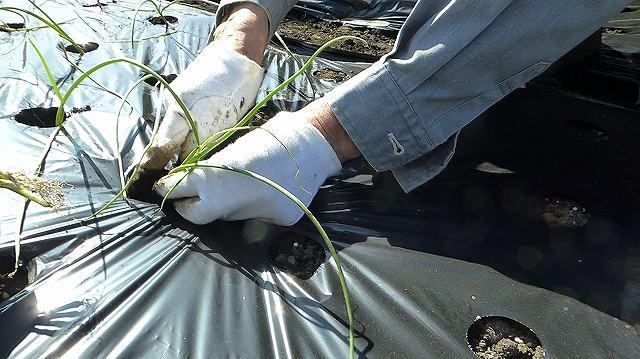 玉ねぎの植え方手で押し込む