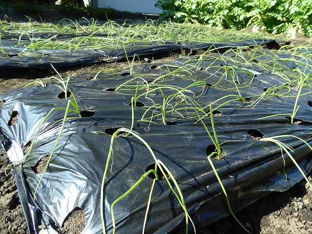 玉ねぎの苗が植え終わった様子です