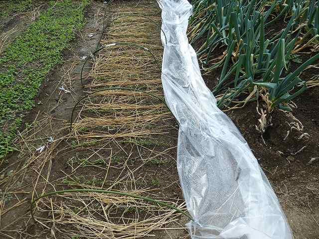 ほうれん草のシートを外して雨水をかける
