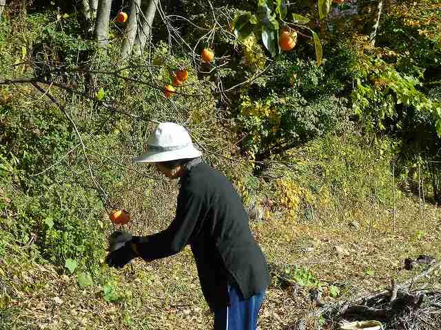 柿の収穫作業中