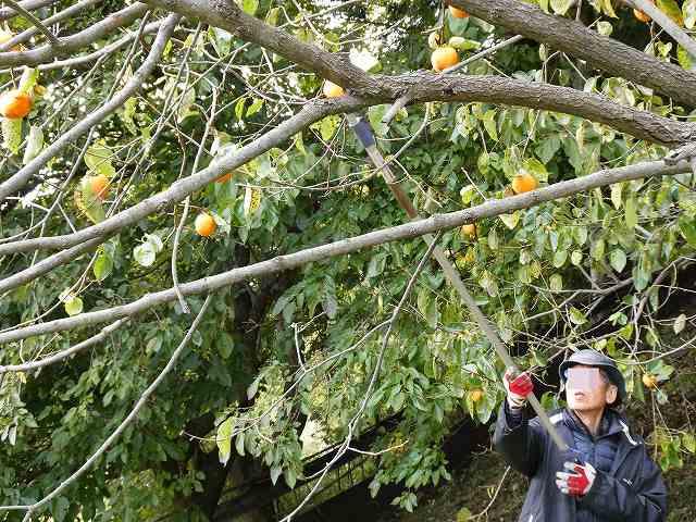 柿をとっているところ