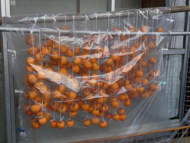 干し柿、雨が降ればビニールをかけます。
