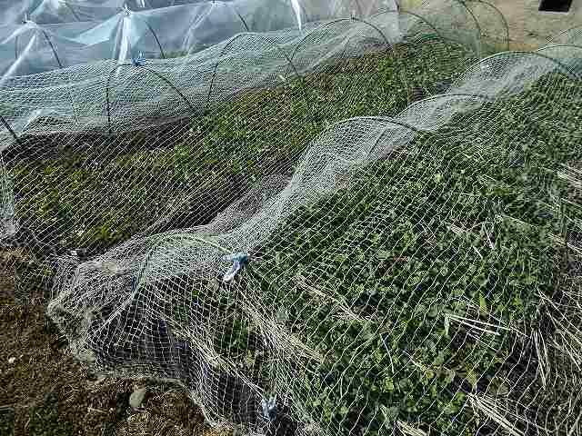 冬野菜にネットを張った
