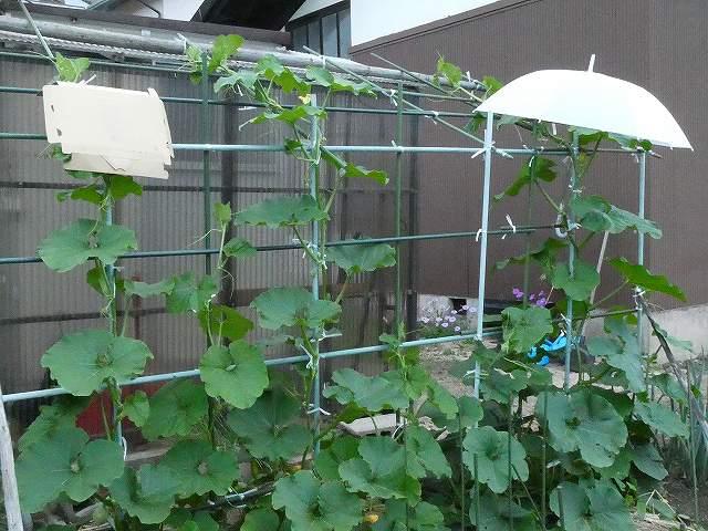 かぼちゃの空中栽培で雨の前日にカサと段ボールをかけた