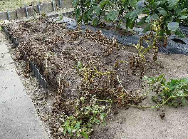 じゃがいもの収穫、葉と茎が枯れた状態