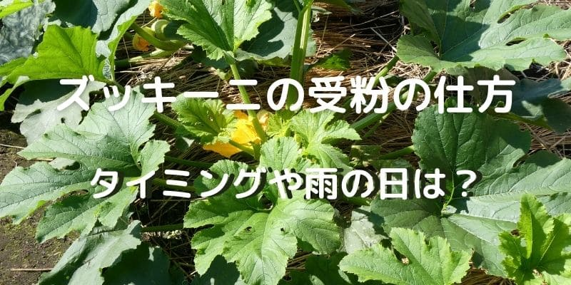 ズッキーニの栽培