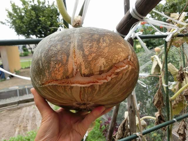 かぼちゃの収穫時期