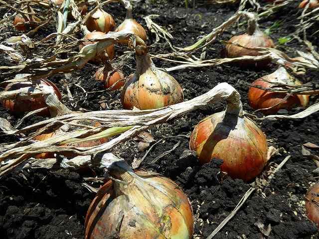 玉ねぎの収穫の目安は倒れてから