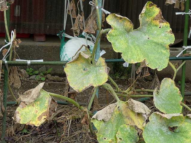 かぼちゃの収穫時期、葉が枯れる