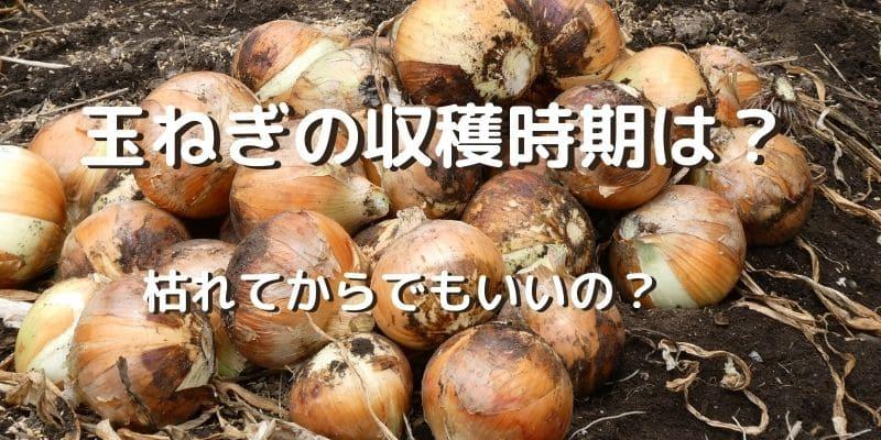 玉ねぎの収穫時期